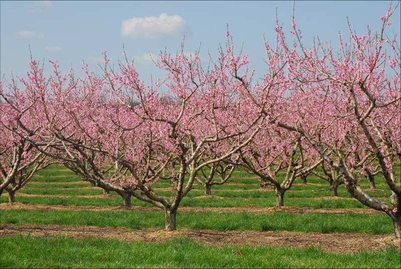 Peach Blossom Festival